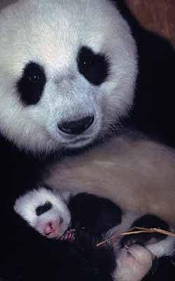Promouvoir le panda