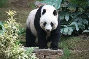 Des pandas pour Sendai
