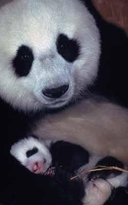 Panda chinois et son bébé, animal emblématique de la Chine